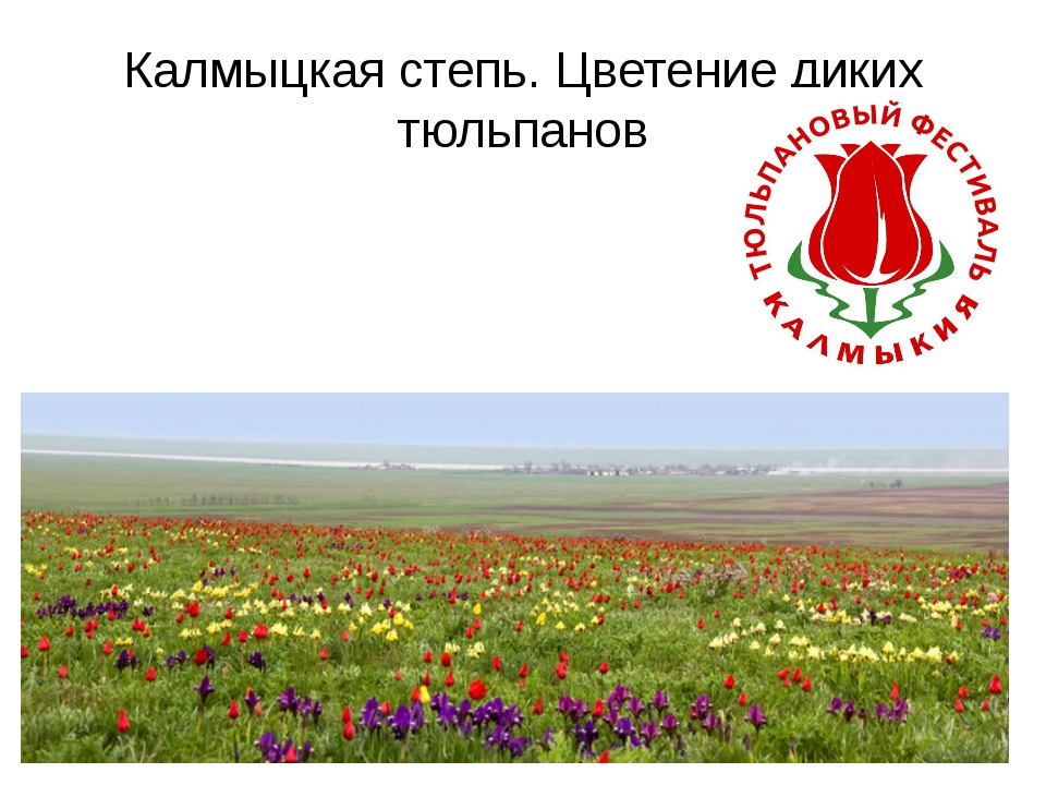 Калмыцкая степь. Цветение диких тюльпанов