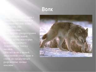 Волк Волк- это крупный зверь с относительно высокими и сильными ногами; морд