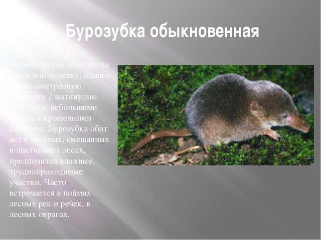 Бурозубка обыкновенная Внешне зверек походит на мышь или полевку, однако име...