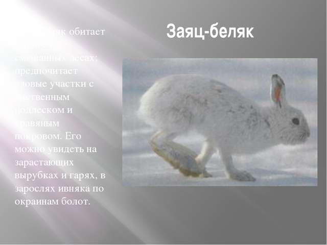 Заяц-беляк Заяц-белякобитает в тайге и смешанных лесах; предпочитает еловые...