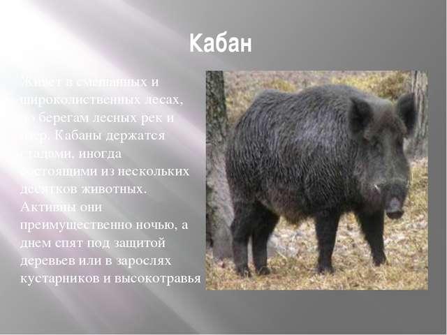 Кабан Живет в смешанных и широколиственных лесах, по берегам лесных рек и озе...