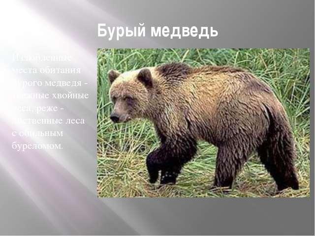 Бурый медведь Излюбленные места обитания бурого медведя - таежные хвойные лес...