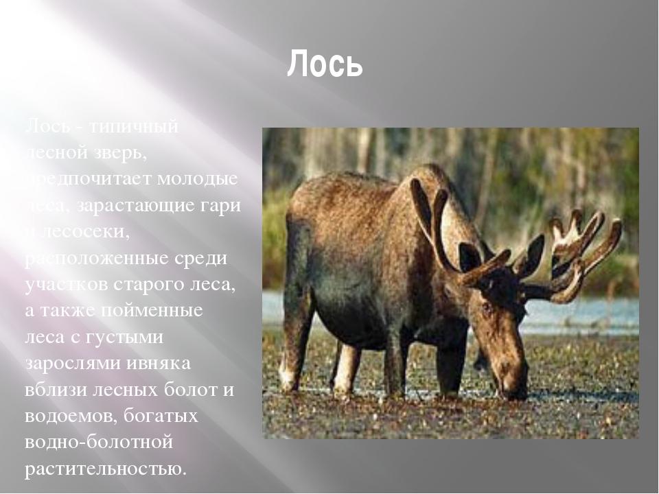 Лось Лось- типичный лесной зверь, предпочитает молодые леса, зарастающие гар...