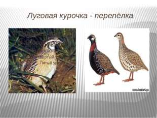 Луговая курочка - перепёлка