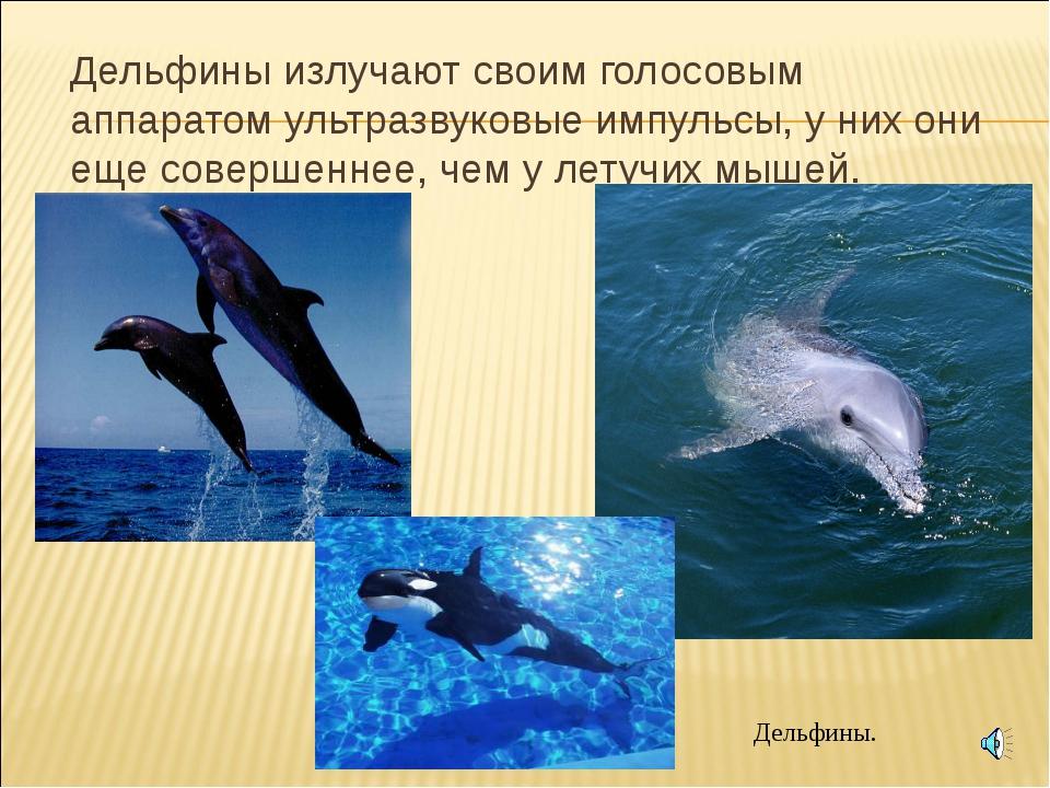 Дельфины излучают своим голосовым аппаратом ультразвуковые импульсы, у них о...