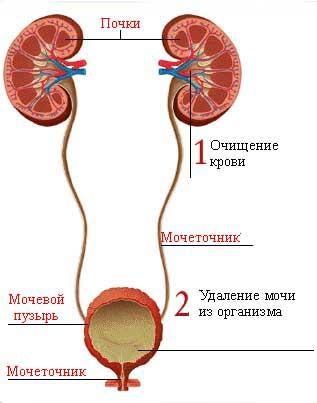 http://biolgra.ucoz.ru/Ilustrations/Anatomy/vudel1.jpg