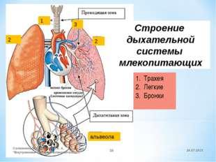 1 2 2 3 альвеола Строение дыхательной системы млекопитающих Трахея Легкие Бро