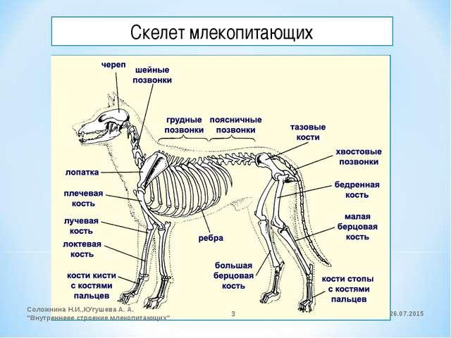 """Скелет млекопитающих 26.07.2015 Соложнина Н.И.,КУгушева А. А. """"Внутреннеее ст..."""