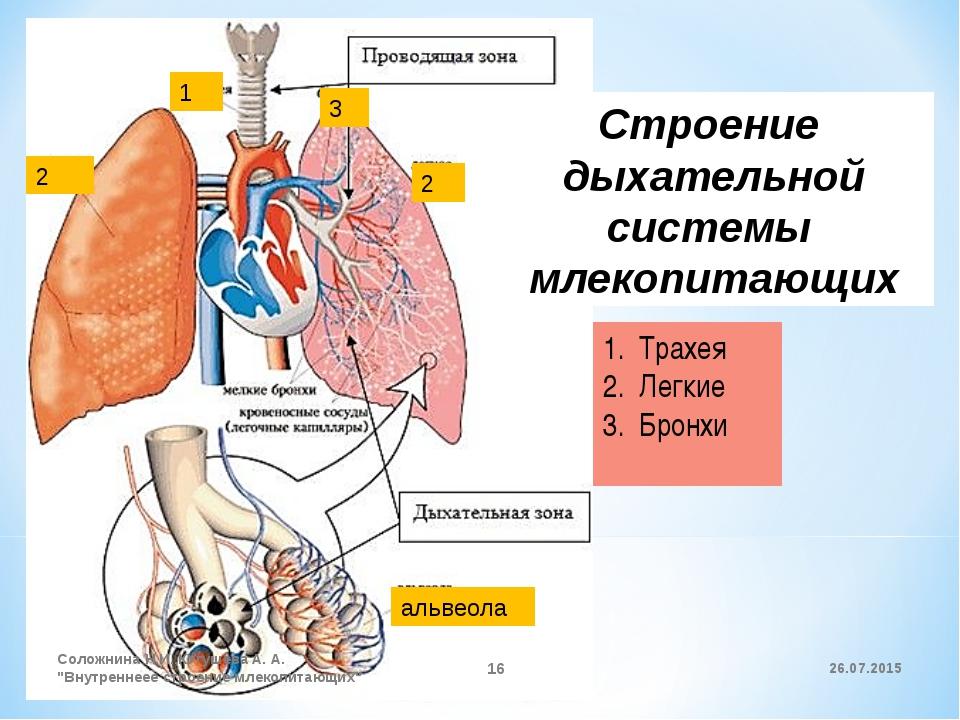 1 2 2 3 альвеола Строение дыхательной системы млекопитающих Трахея Легкие Бро...