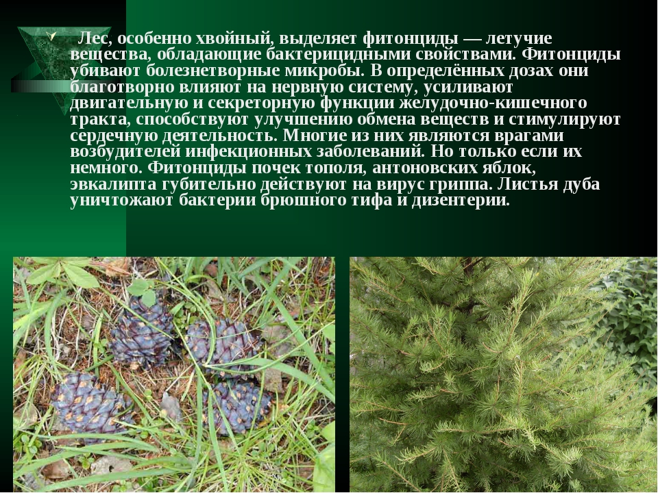 Лес, особенно хвойный, выделяет фитонциды— летучие вещества, обладающие бак...