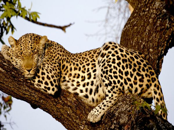 Описание: http://www.tigerworld.ru/images/pantera/leopard1.jpg