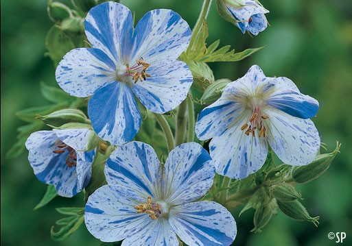 http://img1.liveinternet.ru/images/attach/c/7/96/430/96430547_large_Geranium_pratense_Splish_Splash.jpg