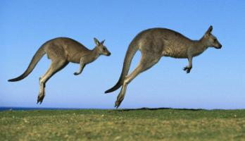 кенгуру. Фото