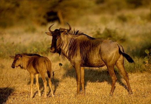 антилопы гну. Фото