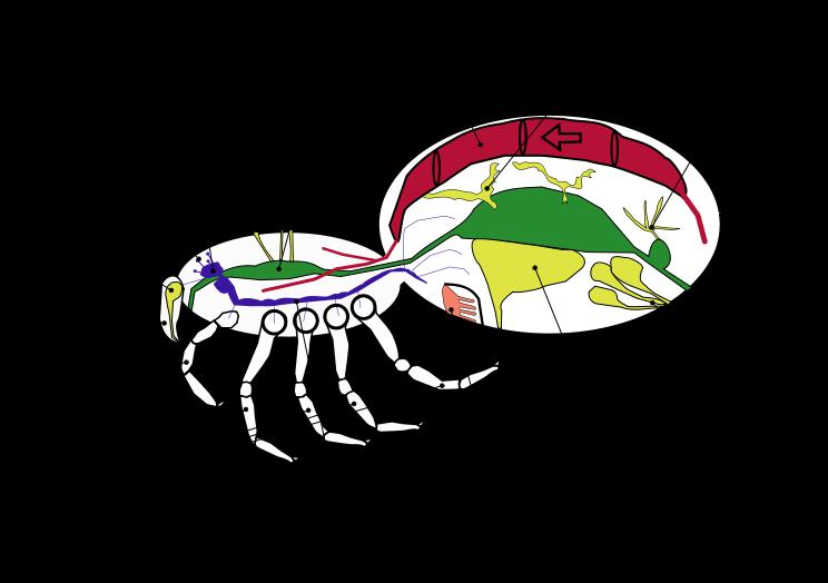 File:Araneae ru.svg