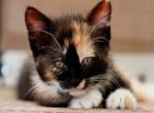 Котенок, трехцветный, мордашка, взгляд