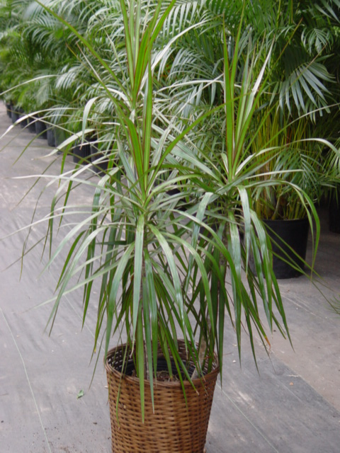 C:\Documents and Settings\БаРоНеС\Рабочий стол\Dracaena_;line-height: 100%