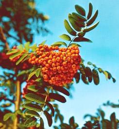 http://www.mplants.org.ua/img/rjabina.jpg