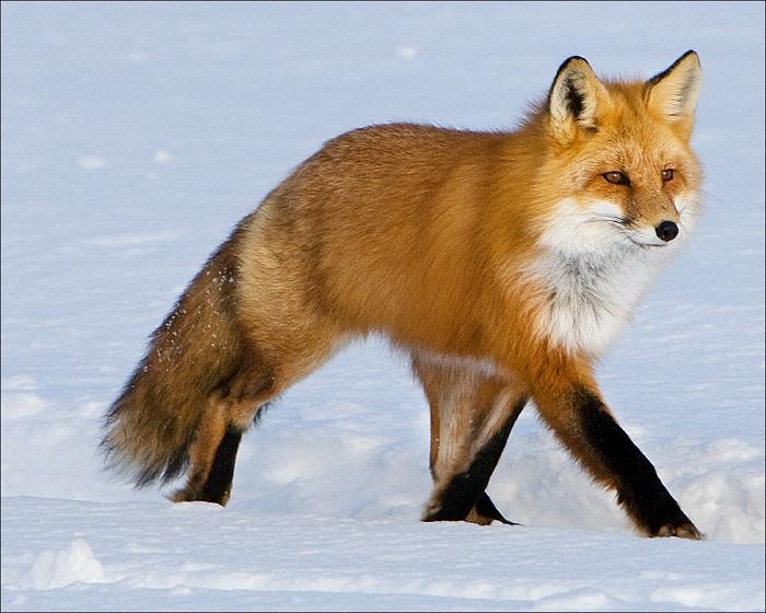 Дикое, хищное животное лиса: описание, фото лисицы зимой, видео, смешные и прикольные картинки.