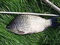 http://upload.wikimedia.org/wikipedia/commons/thumb/7/72/Kroeskarper_40_cm_16cm_hoog_6_cm_staart_003.JPG/120px-Kroeskarper_40_cm_16cm_hoog_6_cm_staart_003.JPG