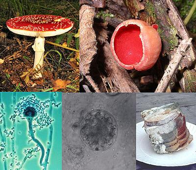 E:\Саныраукулактар\400px-Fungi_collage.jpg