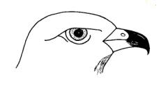 http://www.biology-resources.com/images/bird-beak-buzzard-big.jpg