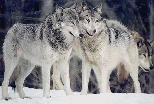 http://doghusky.ru/wp-content/uploads/2010/08/Wolfs-019-DogHusky.ru_.jpg