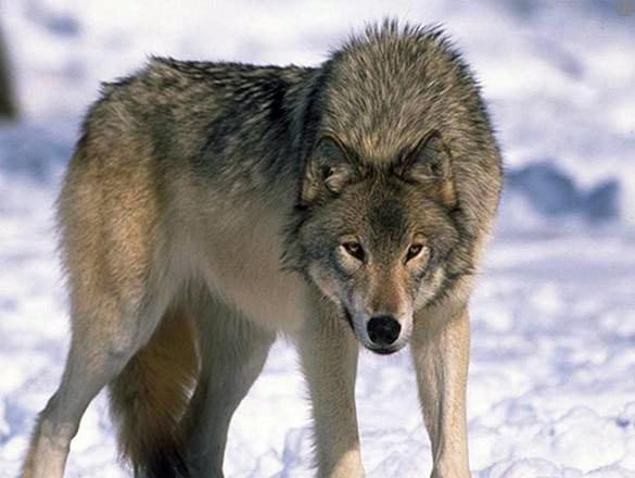 http://doghusky.ru/wp-content/uploads/2010/08/Wolfs-016-DogHusky.jpg