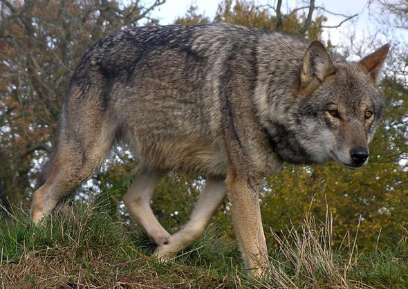 Макензенский Волк