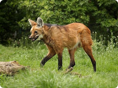 http://doghusky.ru/wp-content/uploads/2010/08/Wolfs-009-DogHusky.ru_.jpg