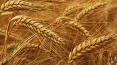 В Кыргызстане собрано 774 тыс. тонн пшеницы