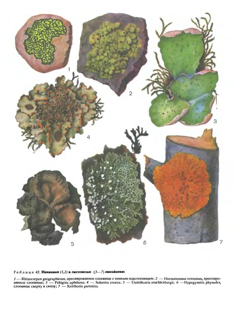 http://dic.academic.ru/pictures/enc_biology/plants/3-tablitsa_42.jpg