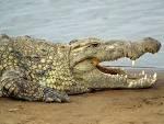 крокодил.bmp