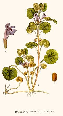 http://upload.wikimedia.org/wikipedia/commons/thumb/6/6f/93_Glechoma_hederacea.jpg/220px-93_Glechoma_hederacea.jpg