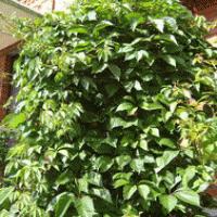 Девичий виноград 40 см