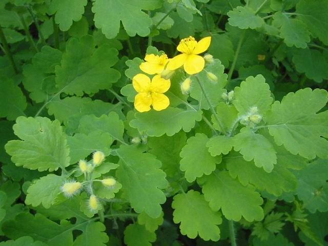 http://www.kulichki.com/tolkien/arhiv/manuscr/Flowers/celandine1.jpg