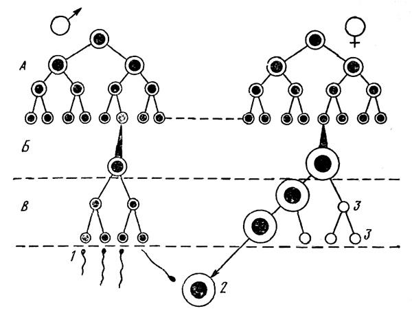 Схема гаметогенеза у человека:
