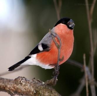 E:\Работа\Портфолио мой\соц. проекты\Покормите птиц зимой\фото\snegir2.jpg