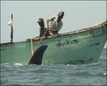 Whale sharks are hooked by fishermen