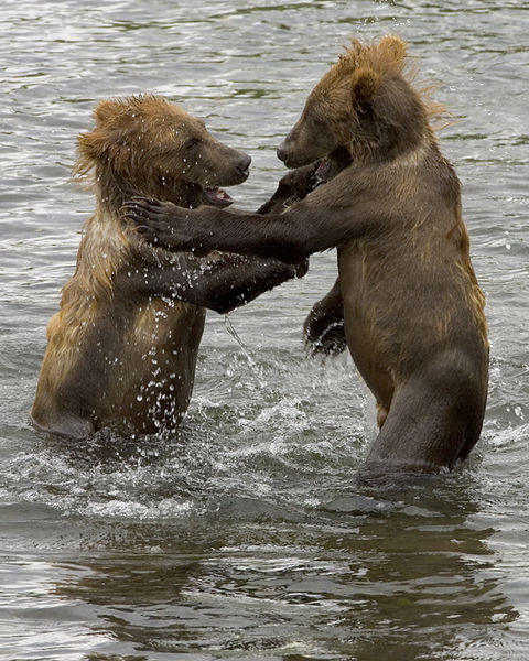 Файл:Brown Bear Cubs.jpg