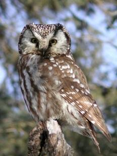 http://www.owlpages.com/pictures/species-Aegolius-funereus-1.jpg