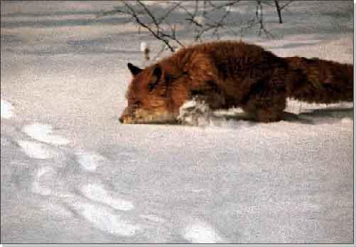 http://900igr.net/datai/okruzhajuschij-mir/Dikie-zhivotnye-zimoj/0018-018--JA-khochu-rasskazat-o-tom-kak-lisitsy-myshkujut.jpg