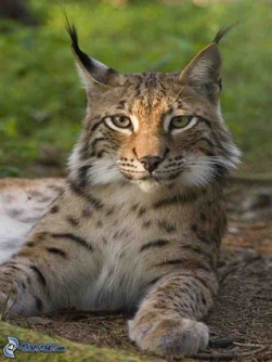 NationMaster - Encyclopedia: Eurasian Lynx