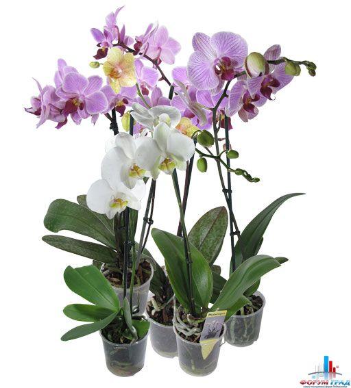 Орхидея Фаленопсис Выращивание в домашних условиях и уход