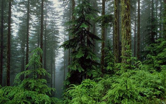 Лес хвойный фото, картинки, видео