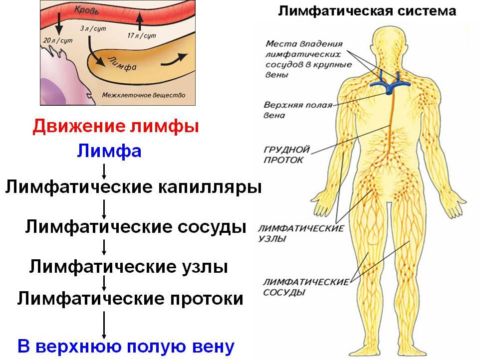 http://900igr.net/datas/biologija/Limfaticheskaja-sistema/0003-003-Limfaticheskie-kapilljary.jpg