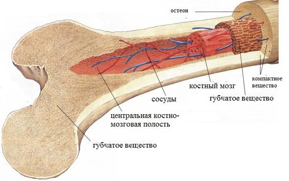 http://fitfan.ru/uploads/posts/2013-11/1385061137_kostnii3.jpg
