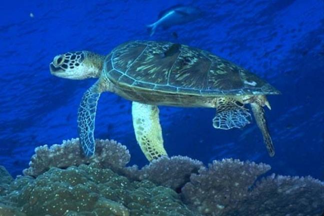 Зеленая или Суповая черепаха