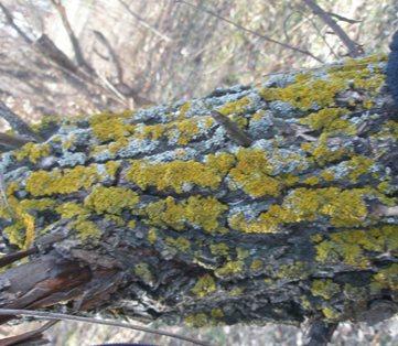 сколько растёт серо зелёный лишайник на камне