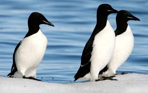 http://www.naturelifepark.com/birds/foto/big/Uria_lomvia.jpg